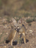 Kit Fox (Vulpes Macrotis), Southwestern North America Photographic Print by Rick & Nora Bowers