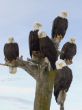 Mature Bald Eagles (Haliaeetus Pelagicus) Perched Photographic Print by Tom Walker