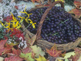 Swenson Red Grapes in a Harvest Basket Surrounded by Fall Flowers and Autumn Leaves Photographic Print by David Cavagnaro