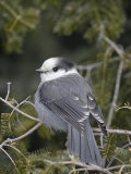 Gray Jay (Perisoreus Canadensis), USA Photographic Print by Garth McElroy
