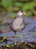 Common Moorhen Juvenile, Gallinula Chloropus, Lake Woodruff National Wildlife Refuge, Florida, USA Photographic Print by Arthur Morris