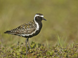 Pacific Golden-Plover (Pluvialis Fulva), North America Photographic Print by Arthur Morris