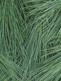 Close-Up of White Pine Needles (Pinus Strobus), Eastern USA Photographic Print by Wally Eberhart