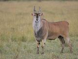 Large Bull Eland, Taurotragus Oryx, Maasai Mara, Kenya, Africa Photographic Print by Arthur Morris