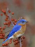 Male Eastern Bluebird in Crabapple (Sialia Sialis), North America. Missouri State Bird Lámina fotográfica por Steve Maslowski
