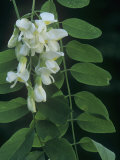 Black Locust Tree Flowers and Pinnately Compound Leaves (Robinia Pseudoacacia), North America Photographic Print by Ned Therrien