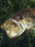 Largemouth Bass with Plastic Lure Underwater Photographic Print by Wally Eberhart