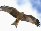 Yellow-Billed Kite in Flight, Milvus Aegyptius, Tanzania, Africa Reproduction photographique par Arthur Morris