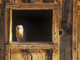 Barn Owl (Tyto Alba) in Barn Window, a Threatened Species, North America Lámina fotográfica por Tom Walker