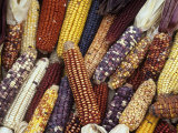 Heirloom Corn Varieties, Zea Mays Lámina fotográfica por David Cavagnaro