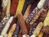 Heirloom Corn Varieties, Zea Mays Photographic Print by David Cavagnaro