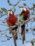 Green-Winged Macaw, Ara Chloroptera, Brazil, South America Photographic Print by Fritz Polking