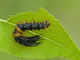 Royal Moth Second Instar Caterpillar (Citheronia Hamifera). Ecuador Photographic Print by Leroy Simon