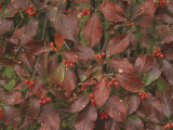 Flowering Dogwood Fruits and Fall Leaves, Cornus Florida, Eastern North America Photographic Print by Adam Jones