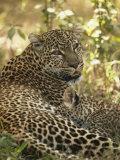 African Leopard Cub Nursing, Panthera Pardus, Masai Mara Game Reserve, Kenya, Africa Photographic Print by Joe McDonald