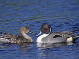 Northern Pintail Duck Pair on Water (Anas Acuta), North America Photographic Print by Marc Epstein