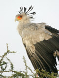 Secretary Bird (Sagittarius Serpentarius) in Acacia Tree, Tanzania Photographic Print by Arthur Morris