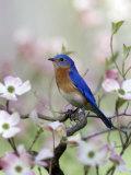 Male Eastern Bluebird in Flowering Dogwood Tree (Sialia Sialis), North America. Missouri State Bird Fotografisk tryk af Steve Maslowski