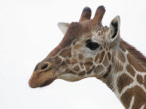 Giraffe Head, Giraffa Camelopardalis, Kenya, Africa Photographic Print by Arthur Morris