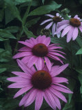 Purple Coneflowers (Echinacea Purpurea), Eastern USA Photographic Print by Patricia Armstrong