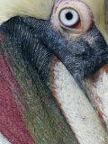Brown Pelican, Pelecanus Occidentalis Photographie par Arthur Morris