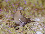 White-Winged Dove (Zenaida Asiatica), Arizona, USA Photographic Print by Steve Maslowski