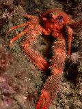 Crab (Galathea Strigosa) Photographic Print by Reinhard Dirscherl