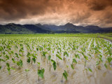 Afternoon Threatening Clouds Hang over a Hanalei Taro Field on Kauai, Hawaii, USA Photographic Print by David Fleetham