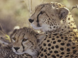 Cheetah Cub with its Mother, Acinonyx Jubatus, East Africa Photographie par Gerald & Buff Corsi