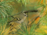 Female Golden-Crowned Kinglet (Regulus Satrapa), North America Photographic Print by Steve Maslowski