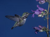 Calliope Hummingbird, Stellula Calliope, Feeding at a Flower Photographic Print by Charles Melton