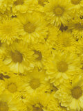 Yellow Garden Chrysanthemums Photographic Print by Adam Jones