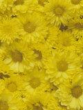 Yellow Garden Chrysanthemums Photographic Print by Adam Jones