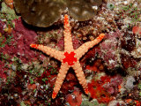 Red-Mesh Starfish (Fromia Monilis), Indian Ocean Photographic Print by Reinhard Dirscherl