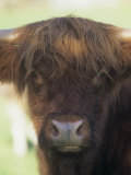 Scottish Highland Cattle Face Photographic Print by Joe McDonald