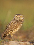 Burrowing Owl, Athene Cunicularia, Florida, USA Photographic Print by John & Barbara Gerlach