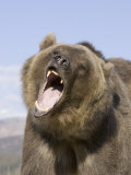 A Grizzly Bear Face Showing its Teeth and Tongue in its Open Mouth, Ursus Arctos, North America Photographic Print by Joe McDonald