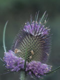 Teasel Flowering, Dipsacus Sylvestris, North America Photographic Print by John & Barbara Gerlach