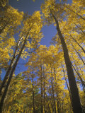 Fall Quaking Aspens, Populus Tremuloides, Colorado, USA Photographic Print by Adam Jones