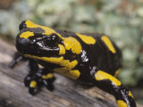 Fire Salamander, Salamandra Salamandra, Europe Photographic Print by Gerold &amp; Cynthia Merker