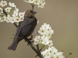 Female Brown-Headed Cowbird, Molothrus Ater, Among Crabapple Blossoms, North America Papier Photo par Adam Jones