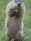 Woodchuck or Groundhog, Marmota Monax, Standing and Holding a Piece of Food, North America Photographic Print by Joe McDonald
