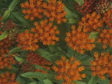 Butterfly Weed Flowers, Asclepias Tuberosa, North America Photographic Print by Gary Meszaros