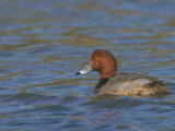 Redhead Duck Male on Water, Aythya Americana, North America Photographic Print by Jack Michanowski