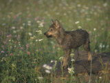 Gray Wolf Pup in a Meadow, Canis Lupus, North America Photographic Print by Jack Michanowski