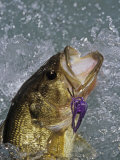 Largemouth Bass, Weedless Jig Photographie par Wally Eberhart