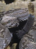 Black-Tailed Rattlesnake, Crotalus M.Molossus, Western Texas Photographic Print by Joe & Mary Ann McDonald