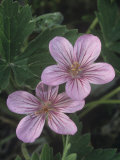 Wild Geranium Flowers Showing Nectar Guides (Geranium Viscosissimum), North America Photographic Print by William Weber