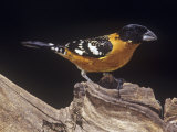 Black-Headed Grosbeak, Pheucticus Melanocephalus, Western United States Photographic Print by Joe McDonald