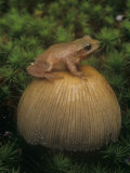 Spring Peeper on an Inky Cap Mushroom., Hyla Crucifer, Eastern USA Photographic Print by Gary Meszaros